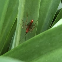 ICHNEUMONIDAE (Unidentified Ichneumon Wasp) at Berry, NSW - 6 Oct 2020 by Username279