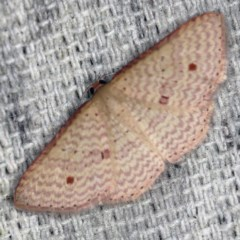Epicyme rubropunctaria (Red-spotted Delicate) at O'Connor, ACT - 22 Oct 2020 by ibaird