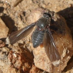 Comptosia stria (A bee fly) at - 21 Oct 2020 by LizetteSalmon