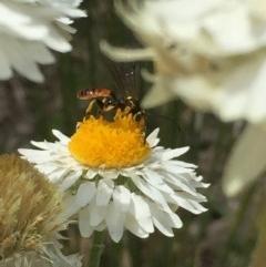 Ichneumonidae sp. (family) (Unidentified ichneumon wasp) at Aranda, ACT - 23 Oct 2020 by Jubeyjubes