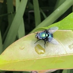 Unidentified Fly / Gnat / Mosquito (TBC) at Berry, NSW - 23 Oct 2020 by Username279