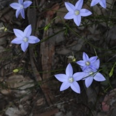 Wahlenbergia sp. (Bluebell) at Downer, ACT - 22 Oct 2020 by jbromilow50
