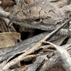 Amphibolurus muricatus (Jacky Dragon) at Burra, NSW - 22 Oct 2020 by Safarigirl