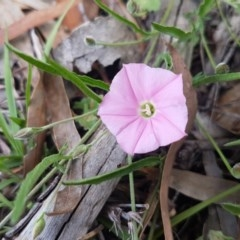 Convolvulus angustissimus subsp. angustissimus (Australian Bindweed) at Umbagong District Park - 23 Oct 2020 by tpreston