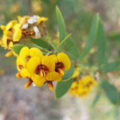 Daviesia mimosoides (Bitter Pea) at Umbagong District Park - 23 Oct 2020 by tpreston