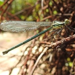 Austroargiolestes icteromelas (Common Flatwing) at Acton, ACT - 21 Oct 2020 by HelenCross