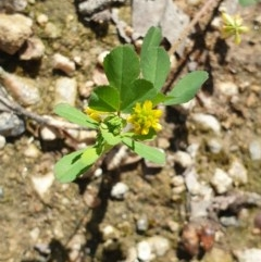 Trifolium dubium (Yellow Suckling Clover) at Monument Hill and Roper Street Corridor - 17 Oct 2020 by ClaireSee