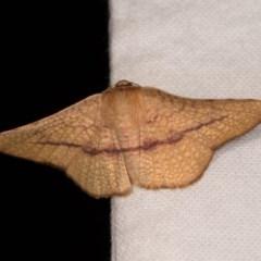 Aglaopus pyrrhata (Leaf Moth) at Melba, ACT - 21 Oct 2020 by kasiaaus