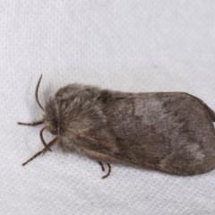 Pernattia pusilla (She-oak Moth) at Melba, ACT - 21 Oct 2020 by kasiaaus