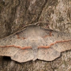 Antictenia punctunculus (A geometer moth) at Melba, ACT - 21 Oct 2020 by kasiaaus
