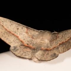 Antictenia punctunculus at Melba, ACT - 21 Oct 2020