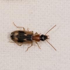 Anomotarus crudelis (Carab beetle) at Melba, ACT - 21 Oct 2020 by kasiaaus