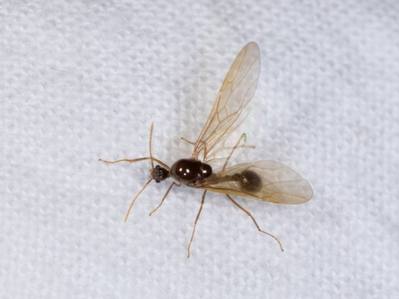Aphaenogaster longiceps at Melba, ACT - 21 Oct 2020