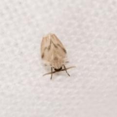 Psychodidae sp. (family) at Melba, ACT - 21 Oct 2020