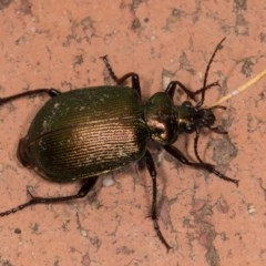 Calosoma schayeri (Green caterpillar hunter) at Melba, ACT - 21 Oct 2020 by kasiaaus