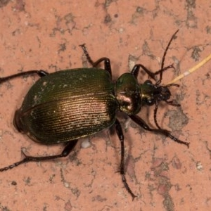Calosoma schayeri at Melba, ACT - 21 Oct 2020