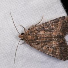 Hypoperigea tonsa (A noctuid moth) at Melba, ACT - 21 Oct 2020 by kasiaaus
