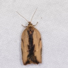 Epiphyas sp. (genus) (A Tortrid moth) at Melba, ACT - 21 Oct 2020 by kasiaaus