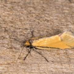 Philobota undescribed species near arabella at Melba, ACT - 21 Oct 2020