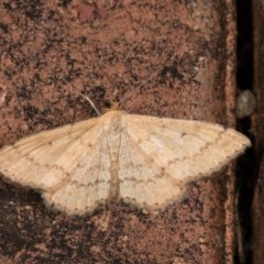Scopula rubraria (Reddish Wave) at Melba, ACT - 21 Oct 2020 by kasiaaus