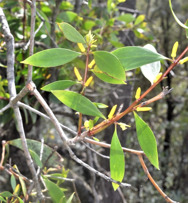 Persoonia levis at Robertson, NSW - 23 Oct 2020