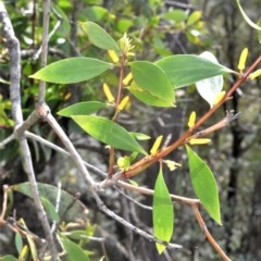 Persoonia levis (Broad-leaved Geebung) at Robertson, NSW - 23 Oct 2020 by plants