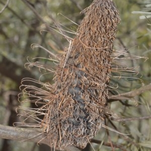 Banksia spinulosa var. cunninghamii (Hairpin Banksia) at Robertson, NSW by plants