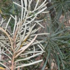 Banksia spinulosa var. cunninghamii at Robertson, NSW - 23 Oct 2020