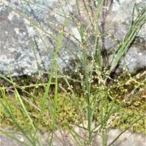 Amperea xiphoclada at Robertson, NSW - 23 Oct 2020