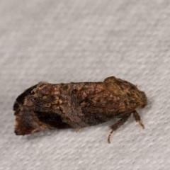 Peritropha oligodrachma (A twig moth) at Melba, ACT - 21 Oct 2020 by kasiaaus