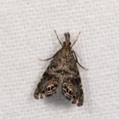 Glaucocharis dilatella (A Crambid moth) at Melba, ACT - 21 Oct 2020 by kasiaaus
