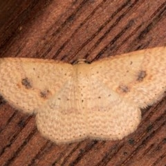 Epicyme rubropunctaria (Red-spotted Delicate) at Melba, ACT - 21 Oct 2020 by kasiaaus