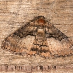 Aporoctena (genus) (A Geometrid moth) at Melba, ACT - 21 Oct 2020 by kasiaaus