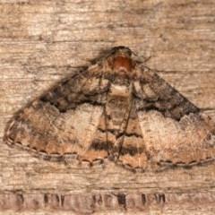 Aporoctena (genus) (A Geometrid moth) at Melba, ACT - 21 Oct 2020 by kasiaaus
