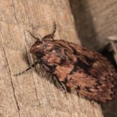 Mimaglossa nauplialis (A Pyralid moth) at Melba, ACT - 21 Oct 2020 by kasiaaus