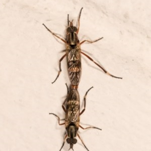 Ectinorhynchus sp. (genus) at Melba, ACT - 21 Oct 2020