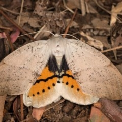 Gastrophora henricaria (Fallen-bark Looper, Beautiful Leaf Moth) at Melba, ACT - 22 Oct 2020 by kasiaaus