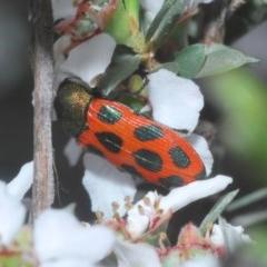 Castiarina octomaculata (A jewel beetle) at Aranda Bushland - 23 Oct 2020 by Harrisi