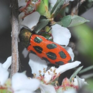 Castiarina octomaculata at Aranda Bushland - 23 Oct 2020