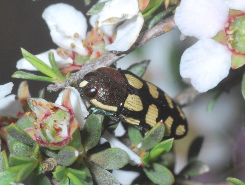 Castiarina decemmaculata at Aranda Bushland - 23 Oct 2020
