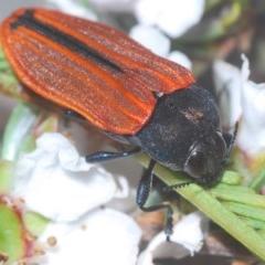 Castiarina erythroptera (Lycid Mimic Jewel Beetle) at Aranda Bushland - 23 Oct 2020 by Harrisi