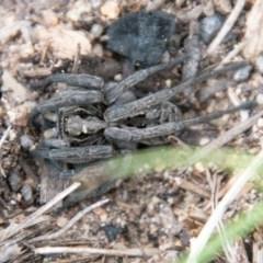 Tasmanicosa sp. (genus) (Unidentified Tasmanicosa wolf spider) at Namadgi National Park - 21 Oct 2020 by SWishart