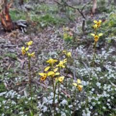Diuris sulphurea (Tiger orchid) at Mount Jerrabomberra - 22 Oct 2020 by roachie