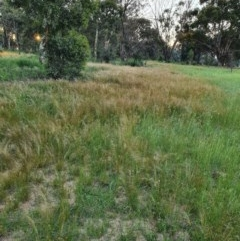 Austrostipa scabra (Corkscrew Grass, Slender Speargrass) at Hughes Grassy Woodland - 22 Oct 2020 by TomT