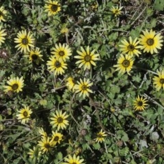 Arctotheca calendula (Capeweed, Cape Dandelion) at Conder, ACT - 1 Oct 2020 by michaelb