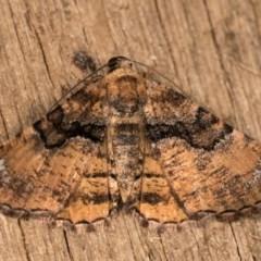 Aporoctena (genus) (A Geometrid moth) at Melba, ACT - 20 Oct 2020 by kasiaaus