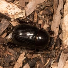 Heteronychus arator (African black beetle) at Melba, ACT - 20 Oct 2020 by kasiaaus