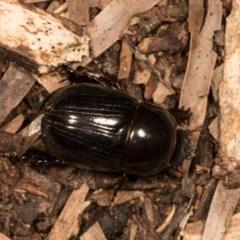 Heteronychus arator (African black beetle) at Melba, ACT - 20 Oct 2020 by kasiaaus