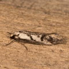 Eusemocosma pruinosa (A Concealer moth) at Melba, ACT - 20 Oct 2020 by kasiaaus