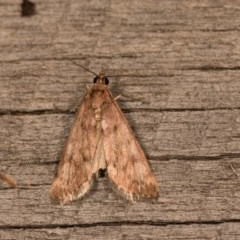 Achyra affinitalis (Cotton Web Spinner) at Melba, ACT - 20 Oct 2020 by kasiaaus